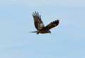 Black kite milvus migrans beautiful alone flying in the sky Royalty Free Stock Photo