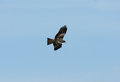Black kite milvus migrans beautiful alone flying in the sky Stock Image