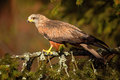 Black Kite, Milvus migrans, brown bird of prey sitting larch tree branch, animal in the habitat Royalty Free Stock Photo
