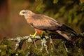 Black kite milvus migrans brown bird of prey sitting larch tree branch animal in the habitat slovakia Stock Photo