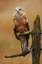 Black Kite, Milvus migrans, brown bird of prey sitting larch tree branch, animal in the nature habitat. Bird of prey in the forest Royalty Free Stock Photo