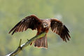 Black Kite, Milvus migrans, brown bird sitting larch tree branch with open wing. Animal in the nature habitat. Black Kite in the f Royalty Free Stock Photo