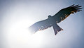 Black kite, spread wings flying in the blue sky across the sun Royalty Free Stock Photo