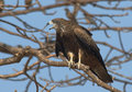 Black Kite on the tree with Rosy Starlings Royalty Free Stock Photo
