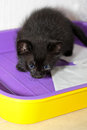 Black kitten in cat's toilet Stock Images