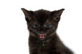 Black kitten crying cute and showing teeth on white background Royalty Free Stock Photo