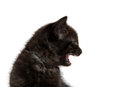 Black kitten crying cute and showing teeth on white background Stock Photo