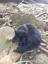 Black Kitten on Hanakapiai Beach on Na Pali Coast on Kauai Island, Hawaii - Kalalau Trail. Royalty Free Stock Photo