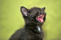 Black kitten mews Royalty Free Stock Photography