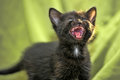 Black kitten mews Royalty Free Stock Photo