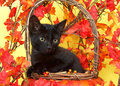 Black kitten in pumpkin basket with fall leaves Royalty Free Stock Photo