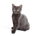 Black kitten sitting and watching on the looker on white Stock Photography