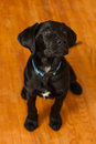 Black lab mix puppy a labrador retriever Royalty Free Stock Images