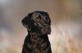 Black labrador dog Royalty Free Stock Photo