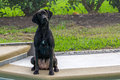 Black Labrador Dog Waiting Patiently to go Swimming Royalty Free Stock Photo