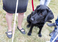 Black labrador guide dog before the last training for the animal the dogs are undergoing various trainings before finally given to Stock Photo