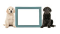 Black labrador puppy dog and golden retriever puppy sitting next to a blue empty picture frame Royalty Free Stock Photo