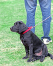 Black labrador puppy dog on lead photo of a cute owners in park Stock Photo