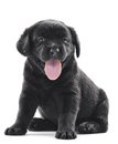 Black labrador puppy dog one little retriever of one month on white background Royalty Free Stock Photo