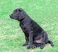 Black labrador puppy dog in training photo of a cute over park Royalty Free Stock Photo