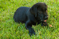 Black labrador puppy enjoying time with his master Royalty Free Stock Image