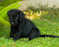 Black labrador puppy enjoying time with his master Stock Photo