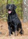 Black Labrador Retriever, Dog Adoption Portrait Royalty Free Stock Photo