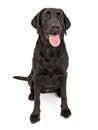 Black Labrador Retriever Dog Drooling