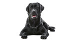 Black labrador retriever dog lying on isolated white Royalty Free Stock Photo