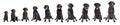 Black Labrador Retriever Growing