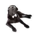 Black labrador retriever months old isolated on white background Royalty Free Stock Photo