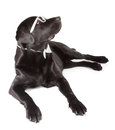 Black labrador retriever months old isolated on white background Royalty Free Stock Image
