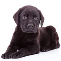 Black labrador retriever puppy dog lying down looking camera Stock Images