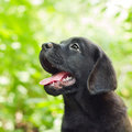 Black labrador retriever puppy in the yard Royalty Free Stock Image