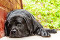Black labrador retriever resting in the shade a hot summer day Royalty Free Stock Image