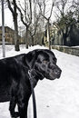Black Labrador in the snow Royalty Free Stock Photography