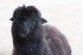 Black lama stock photo of Stock Photos