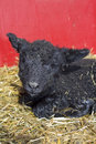 Black lamb a vertical picture of a little laying in the straw with a red wall behind him Royalty Free Stock Image