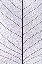 Black leaf vein pattern Stock Image