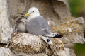 Black-legged kittiwake Royalty Free Stock Images