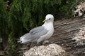 Black legged kittiwake in the bird sanctuary Royalty Free Stock Photography