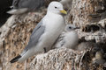 Black legged kittiwake in a nest at the bird sanctuary Royalty Free Stock Images
