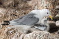 Black legged kittiwake in a nest at the bird sanctuary Stock Photography
