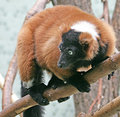 Black lemur 1 Stock Photo