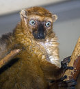 Black lemur 3 Stock Photos