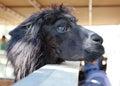 Black llama a long hair at the zoo Stock Images