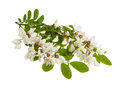 Black locust branch with white flowers isolated on white Royalty Free Stock Photography