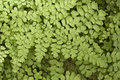 Black Maidenhair fern Royalty Free Stock Photo