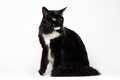 Black Maine Coon Cat Sitting , Looking back, on White Background Royalty Free Stock Photo