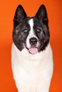 Black mask akita standing over orange background portrait of Stock Photography